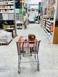 Wirehaired Vizsla at shopping #Dog #Instadog #Instadog #Instadogbreeds #Instadogofficial #Puppy #Puppylove #Instapuppy #Puppypalace #Doglovers #Puppyeyes #Doglover #Instapuppies #Puppydog #Puppygram #Doggie #Puppyoftheday #Doggy #Doggylove #Cutedog #Cutedogs #Puppylife #Doggies.