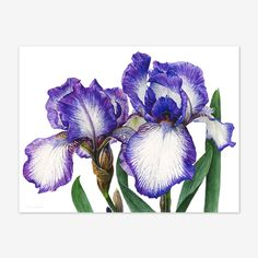 Iris Arctic Fancy, realistic watercolor flowers by Anna Mason Art Iris Flowers, Botanical Flowers, Botanical Prints, Watercolor Disney, Watercolor Flowers, Watercolor Paintings, Decoupage, Anna Mason, Illustration Botanique