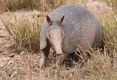 Armadillo is an amazing and interesting animal. Check here some basic facts & information about Armadillo with new pictures-photos. Creature Picture, Amazing Animals, Small Pigs, Nocturnal Animals, Elephant Love, Hippopotamus, Baby Animals, Wild Animals, Animal Kingdom