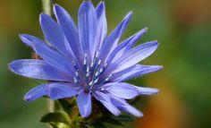 Situada en el 7º grupo de Bach (Flores para la preocupación excesiva por el bienestar de los demás) la flor Chicory remite al abordaje de personas...