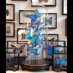 some beautiful new pieces at the Otherist - Arrangement of various blue Morpho specimens under antique glass dome  www.otherist.com