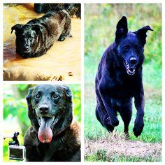 Fun times for joyful Sesame! #evasplaypupsPA #dogs #dogcamp #prettygirl #playtime #blackbeauty #smilingdogs #pondtime #swimtime #swimmingdogs #dogsinnature #runfree #runlikethewind #itsadogslife #dogdaysofsummer #brooklyndogs #labmixesofinstagram #dogsofinstagram #instapup #petportraits #doggyvacays #doggievacays #dogboarding #endlessmountains #pleasantmount #northeasternpa #PA #pennsylvania