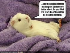 Overlooking the fact that guinea pigs aren't supposed to go in those wheels because they can break their back, this is still really funny (i'll just pretend he's a hamster) :)
