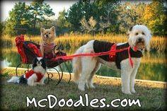 Millie the Goldendoodle service dog.  Moss Creek Goldendoodles!