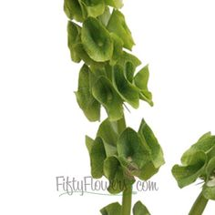 FiftyFlowers.com - Bells of Ireland Molucella Green Filler Flower