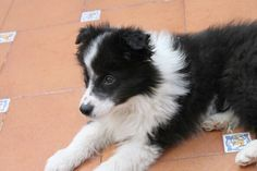 Border Collie puppy Kittens And Puppies, Cute Puppies, Cute Dogs, Border Collie Puppies, Border Collies, Herding Dogs, Puppys, Australian Shepherd, Little Dogs