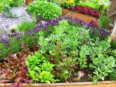 Lavender as border plant seems to be perfect - I am going to adapt this idea in my garden. I will rather choose L. angustifolia as it is more hardy and will survive winter in zone 6.