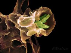 Macrophage Engulfing TB Bacteria, SEM Photographic Print by Science Photo Library at AllPosters.com