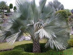 Copernicia hospita - Palmpedia - Palm Grower's Guide