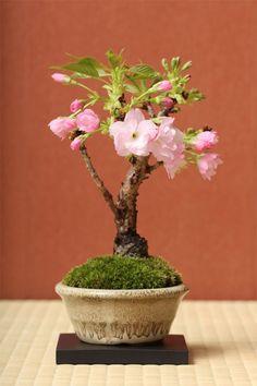 Mini Flowering Cherry Bonsai #bonsaiporcelanafria