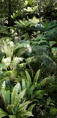 Ferns on Hokitika Gorge - North Island, New Zealand ~ Ferns Garden, Shade Garden, The Beautiful Country, Beautiful Places, New Zealand Landscape, South Island, Garden Planning, Garden Beds, Outdoor Gardens