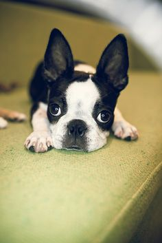 5 Months Old Boston Terrier-they're not really big barkers but they do snore alot