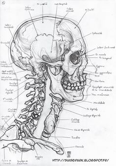 Skull Reference, Figure Drawing Reference, Skeleton Drawings, Art Drawings, Forensische Anthropologie, A Level Art Sketchbook, Human Anatomy Drawing, Anatomy Sketches, 3d Figures