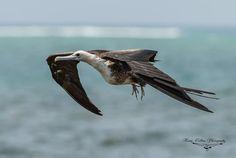 Magnificent Frigatebird, Puerto Morelos, Mexico