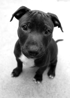 pitbull puppy - i can't wait to get one of these cuties
