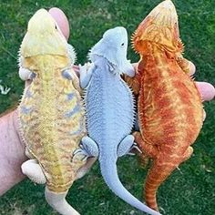 The Lifespan of a Bearded Dragon Depends on Proper Care - Exotic Bearded Dragons Bearded Dragon Colors, Bearded Dragon Funny, Cute Funny Animals, Cute Baby Animals, Animals And Pets, Cute Reptiles, Reptiles And Amphibians, Cute Lizard, Cute Creatures