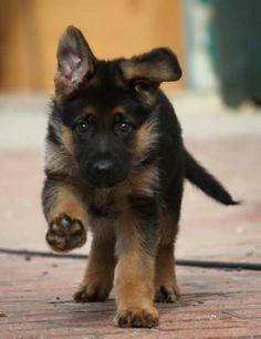 German shepherd puppy determination