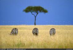 Risultati immagini per masai mara best photo zebra African Animals, African Safari, African Art, Frans Lanting, National Geographic Photographers, Out Of Africa, Wildlife Photography, Belle Photo, Fine Art Prints