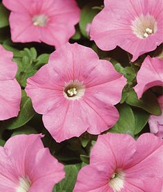 Pink Wave™ Hybrid Petunia Seeds and Plants, Annual Flower Garden at Burpee.com
