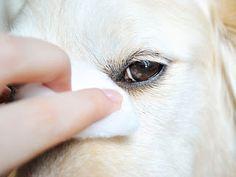Cuidados de los ojos en perros | Enfermedades del Perro