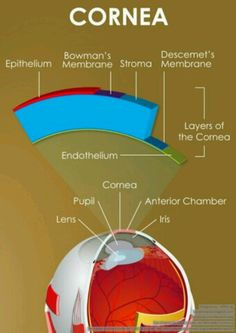 Structure of the cornea. LASIK reshapes the curvature of the cornea to precisely focus images onto the retina. Eye Anatomy, Laser Eye Surgery, Eye Facts, Focus Images, Medical Anatomy, Vision Eye, Eyes Problems, Body Tissues, Nursing