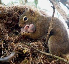 This picture shows a female red squirrel adopting an orphan baby from an abandoned nest....