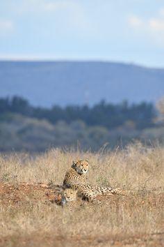 Cheetahs on the near Crocodile Bridge Camp in the Kruger National Park Kruger National Park, National Parks, Lion Walking, Elephant Walk, Park Landscape, Walk Past, Cheetahs, African Animals, Animals Images