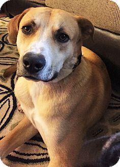Durham, NC - Labrador Retriever Mix. Meet Waffles, a dog for adoption. http://www.adoptapet.com/pet/14802589-durham-north-carolina-labrador-retriever-mix