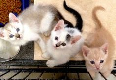 Meet Annabelle, a Petfinder adoptable Domestic Short Hair Cat   Amarillo, TX   Annabelle is the kitten in the middle of the photo.  She is darling with her mostly white coat and...