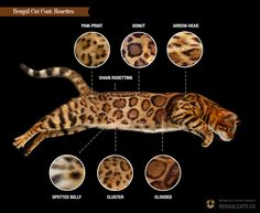 Bengal Silver, Marble Bengal Cat, Bengal Snow, Bengal Cats, Ragdoll Cats, I Love Cats, Cool Cats, Toyger Cat, Oriental Cat