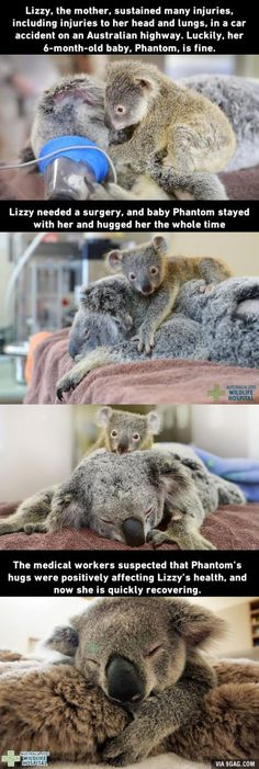 Baby koala would not leave its mom during surgery