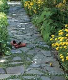 Plants for Pathways. Both blue star creeper, in bloom, and brass buttons are growing in this path. | Fine Gardening