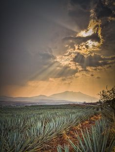 agave field in Tequila, Jalisco, Mexico Mexican American, Agave Azul, Places To Travel, Places To Visit, Holidays To Mexico, Nature Landscape, Mexican Heritage, Sainte Lucie, Voyage Europe