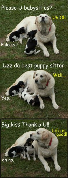 Our favorite babysitter. :P Yellow Lab #Rat #Terrier #funny #dog #humor #cute #Puppy