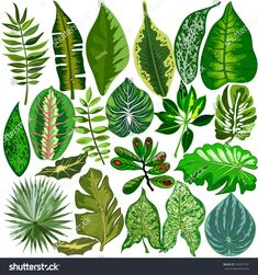 Find tropical leaves stock images in HD and millions of other royalty-free stock photos, illustrations and vectors in the Shutterstock collection. Thousands of new, high-quality pictures added every day. Tropical Art, Tropical Leaves, Tropical Plants, Plant Illustration, Botanical Illustration, Watercolor Flowers, Watercolor Paintings, Trees To Plant, Plant Leaves