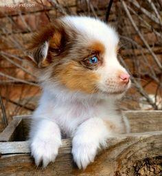 Toy Australian Shepherd. Sadie is cuter. but this dog is pretty freaking cute