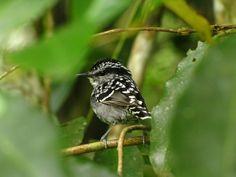 Foto pintadinho (Drymophila squamata) por Daniel Perrella | Wiki Aves - A Enciclopédia das Aves do Brasil