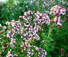 Eko Kungsmynta/Oregano Flerårig, smakar inte lika bra som den grekiska, men drar till sig fjärilar och bin. Högväxt, doftar. 25kr