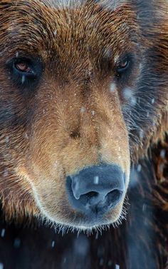 It's no wonder so many different peoples at so many different times regarded bears highly in their myths and legends. Some even thought they were as close to human beings as anything in the animal kingdom. Just look at those eyes!