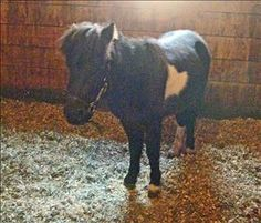 """Brodie"" is a 39"" miniature horse. He's currently in foster care and doing well with his ground work and learning some manners. He was gelded on 11/6/13 and may need some more alone time before being slowly introduced to other horses. After a bit of..."