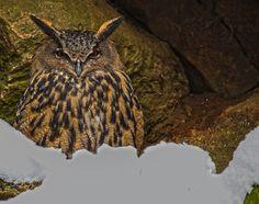 Long-eared Owl by Brigitta D.