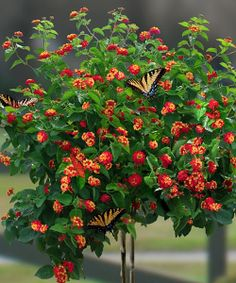 This dramatic flowering tree provides clusters of golden yellow, bright orange and fire engine red blossoms that all become deeper in color as they mature, making it an eye-catching addition to any garden. In bloom all year round, it tolerates a salty environment and boasts a relatively tall size, so it's especially appealing to hummingbirds!