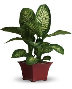 Dumb Cane- Dumb Cane get its name from its poisonous sap that causes painful swelling of the mouth and throat, as well as vocal loss if eaten. Keep it away from pets who may play with or chew on this plant. http://www.guide-to-houseplants.com/dumb-cane.html