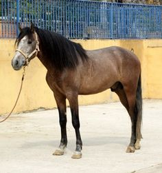 FRAILE (Andalusian)
