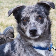 Rico is a male Australian Shepherd mix available at Animal House Shelter, Huntley,IL.