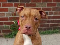 TO BE DESTROYED SUN. 09/14/14 ~Brooklyn Center   MAMA - A1012888  **SAFER: AVERAGE HOME**  FEMALE, BR BRINDLE, PIT BULL MIX, 1 yr STRAY - EVALUATE, NO HOLD Reason STRAY  Intake condition EXAM REQ Intake Date 09/03/2014, From NY 10301, DueOut Date 09/06/2014,