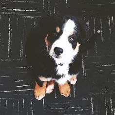 Molly the Labernese Puppy http://ift.tt/1SkSQiq