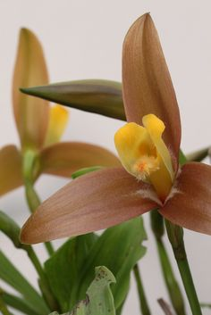 Lycaste lasioglossa | Flickr - Photo Sharing!
