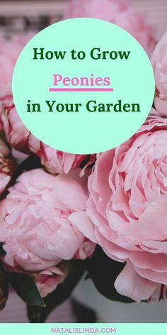 flower garden care Grow beautiful peonies in your garden this Spring by ing this growing guide! Peonies are a low-maintenance perennial, which means theyre easy to care for and will come back for at least two years! Garden Care, Container Gardening, Gardening Tips, Peony Care, Comment Planter, Growing Peonies, Pot Jardin, Flower Garden Design, Spring Plants