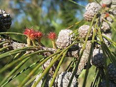 Casuarina equisetifolia - Wikipedia, la enciclopedia libre